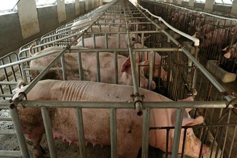 Sow Stalls Thailand