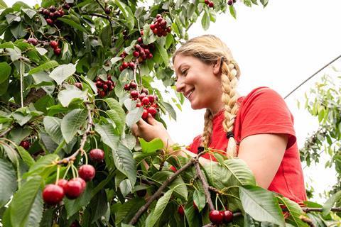 Cherry harvesting