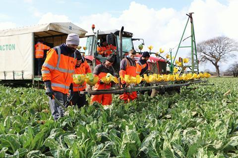 Workers in field cauliflower brassicas crops