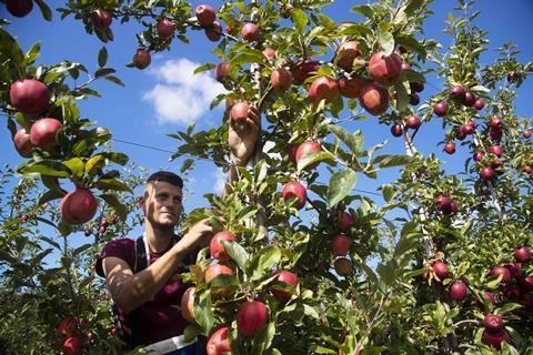 orchard apple picker worker