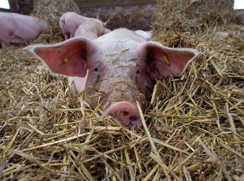 Pig in straw