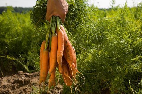 carrots farming
