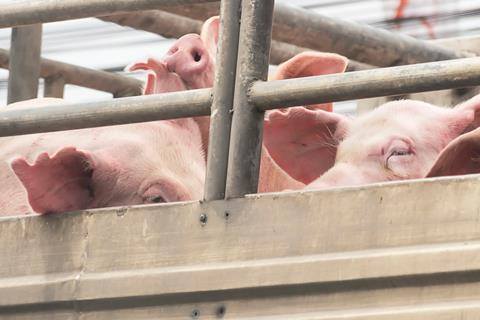 pigs in lorry